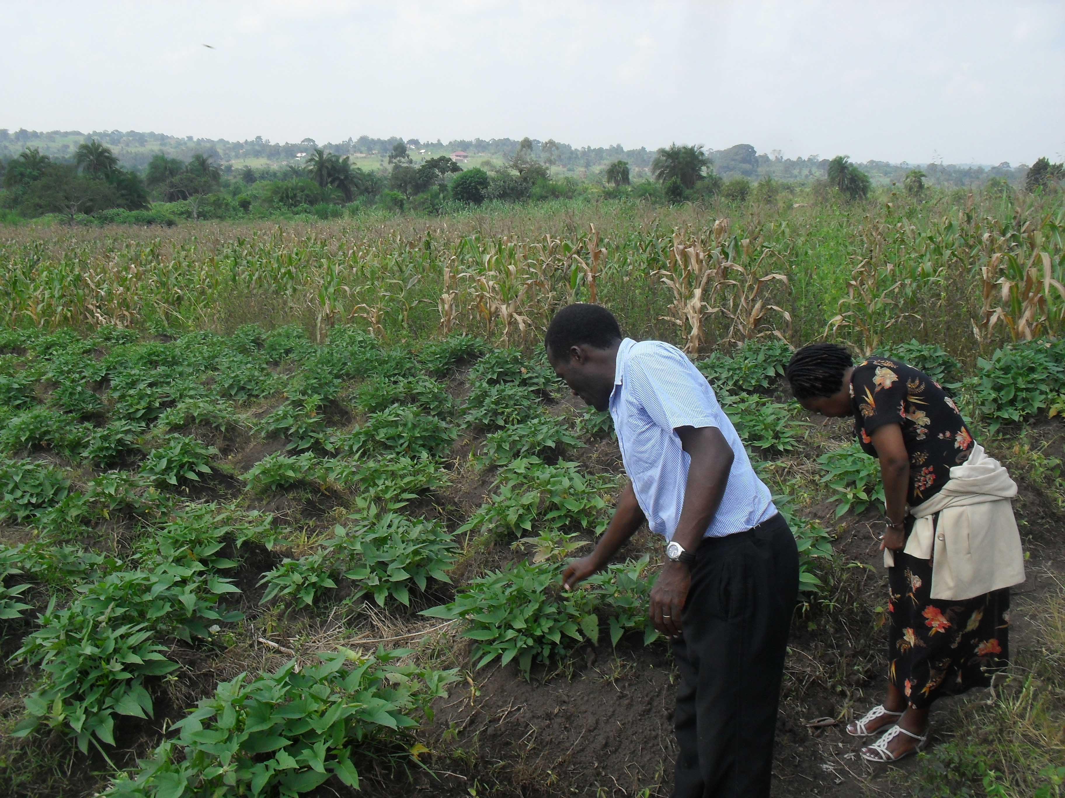 W-Maize-and-Sweet-Potatoes-Ready-for-Harvest-2012